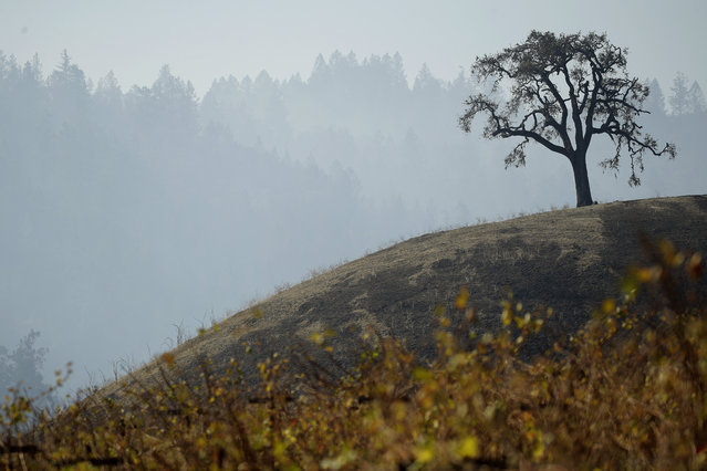 A lone tree stands on a hill charred in the Kincade Fire near Healdsburg, Calif., Thursday, October 31, 2019. (Photo by Charlie Riedel/AP Photo)