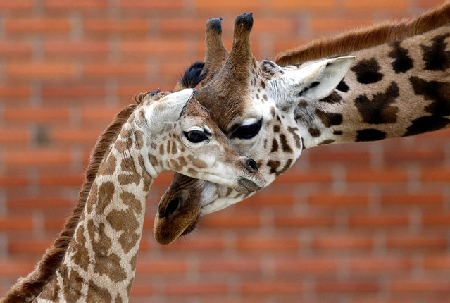 A newly born baby Rothschild's giraffe is seen inside its enclosure at Liberec Zoo in Liberec, Czech Republic on November 6, 2019. (Photo by David W. Cerny/Reuters)