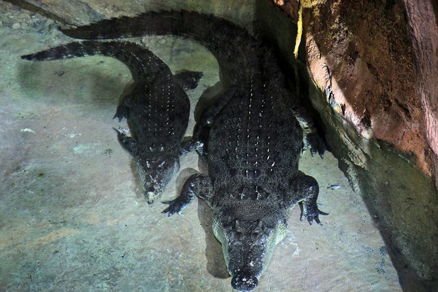 """King Croc"", right, a saltwater crocodile and his female companion of 20 years now, reside in a special enclosure at Dubai Aquarium & Underwater Zoo, in Dubai, United Arab Emirates, Tuesday, June 17, 2014. At about five meters long (16 feet) and weighing over 750 kilograms (1653 pounds), the 40-year-old crocodile arrived in Dubai from a crocodile farm in Australia. (Photo by Kamran Jebreili/AP Photo)"