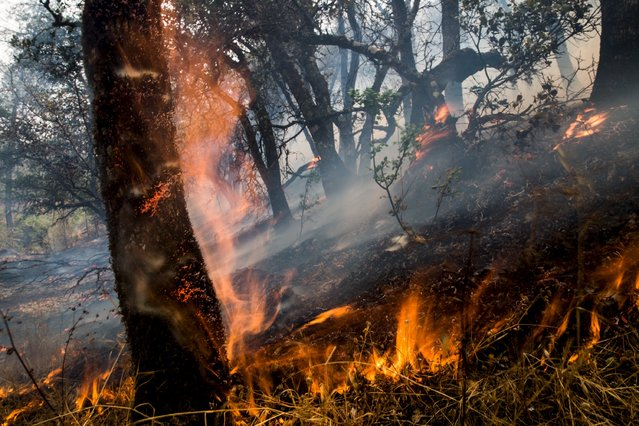 An oak tree ignites at the Rocky Fire in Lake County, California July 30, 2015. The Rocky Fire broke out on Wednesday afternoon in Lake County, 110 miles (180 km) north of San Francisco. By Thursday morning it had spread to 8,000 acres (3,237 hectares), according to the California Department of Forestry and Fire Protection, known as Cal Fire. (Photo by Max Whittaker/Reuters)