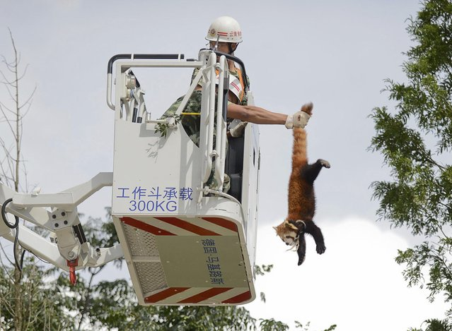 A firefighter holds a red panda (Ailurus fulgens) from its tail while removing it from a tree at a residential area in Kunming, Yunnan province, July 3, 2014. (Photo by Reuters/Stringer)