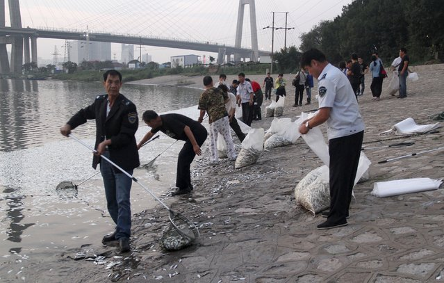 Workers remove dead fish from the Haihe river at Binhai new district in Tianjin, China, August 20, 2015. (Photo by Reuters/Stringer)