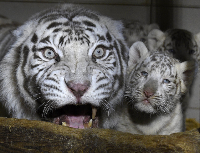 Three white tigers cub born on January 05, 2020 stand beside their mother Orissa at the zoological park of Amneville, northeastern France, on March 9, 2020. (Photo by Jean-Christophe Verhaegen/AFP Photo)