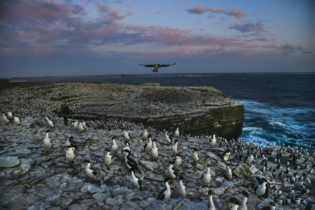 As the sunlight fades, thousands of Imperial Cormorants, with a sprinkle of Rockhopper penguins, nest along the cliff tops of the southernmost part of the island on Tuesday, February 16, 2016, in Sea Lion Island, Falkland Islands.  Sea Lion Island is the southernmost human-inhabited island of the Falklands. (Photo by Jahi Chikwendiu/The Washington Post)