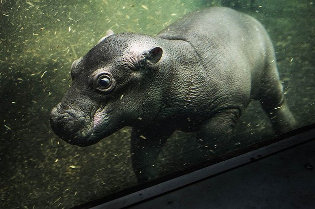 A female hippo infant swims around at the Copenhagen Zoo in Copenhagen, Denmark, on November 22, 2012. (Photo by Jesper Mortensen/Zuma Press)