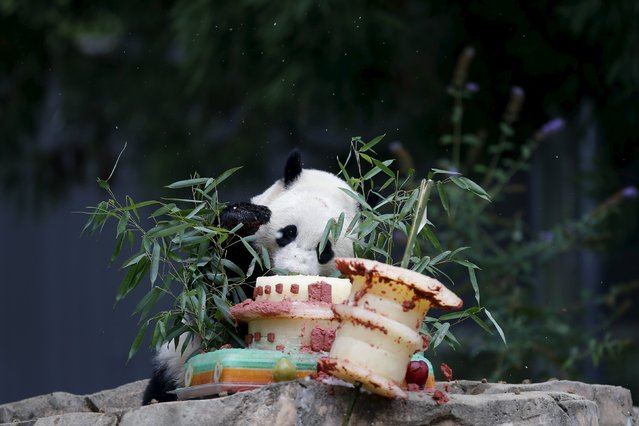 A panda plays with a special cake at the Smithsonian National Zoo in Washington September 25, 2015. (Photo by Carlos Barria/Reuters)