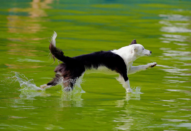 A dog jumps into the pool during the Flying Dogs competition in Kamnik, Slovenia September 10, 2016. (Photo by Srdjan Zivulovic/Reuters)