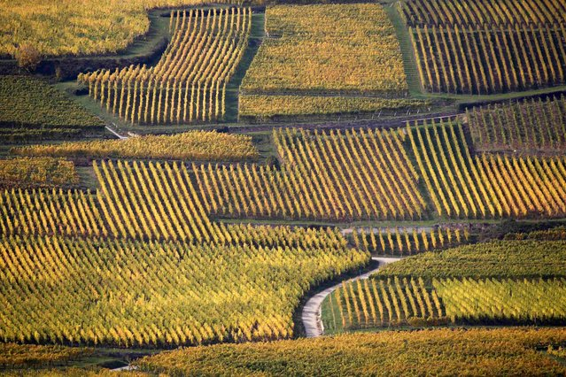 Vineyards display autumn colors to mark the change of seasons in Orschwihr in the Alsace region of France, October 12, 2015. (Photo by Jacky Naegelen/Reuters)