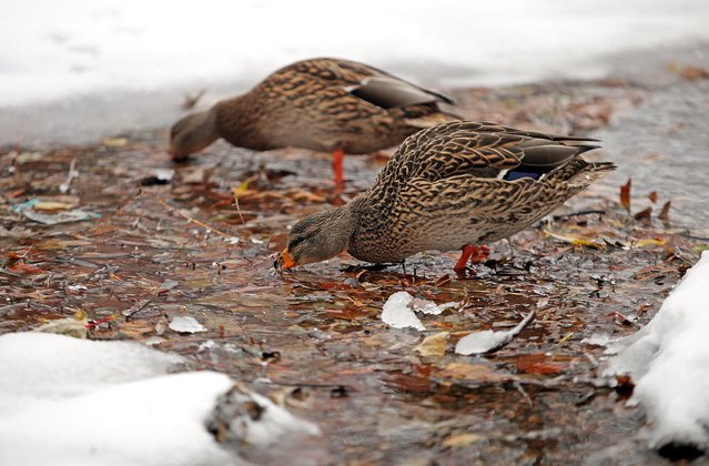 A pair of female ducks forage for food under ice in Minnehaha Creek in Minneapolis, November 10, 2014. (Photo by Eric Miller/Reuters)