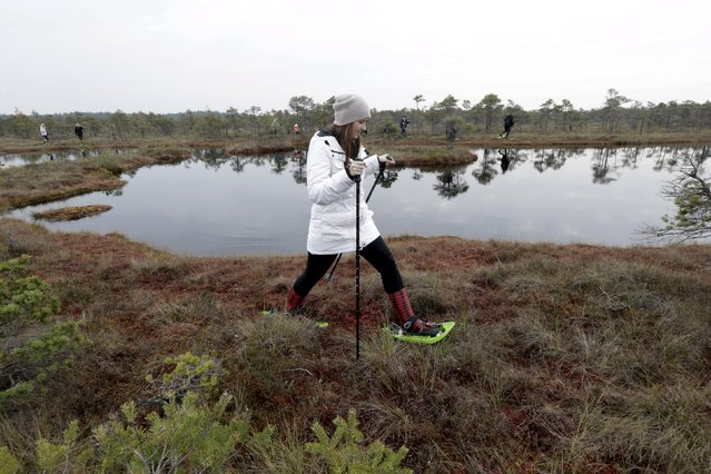 A woman uses snowshoes during a tour of the Great Kemeri Bog, Latvia, October 17, 2015. (Photo by Ints Kalnins/Reuters)