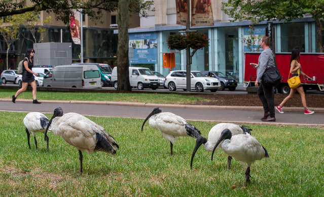 Tip turkey, dumpster chook, rubbish raptor – the Australian white ibis goes by many unflattering names. But it is a true urban success story, scavenging to survive in cities across Australia as wetlands have been lost. Wildlife photographer Rick Stevens captured them in Sydney. Here: The white ibis is common across northern and eastern Australia, and growing in number in western Australia. (Photo by Rick Stevens/The Guardian)