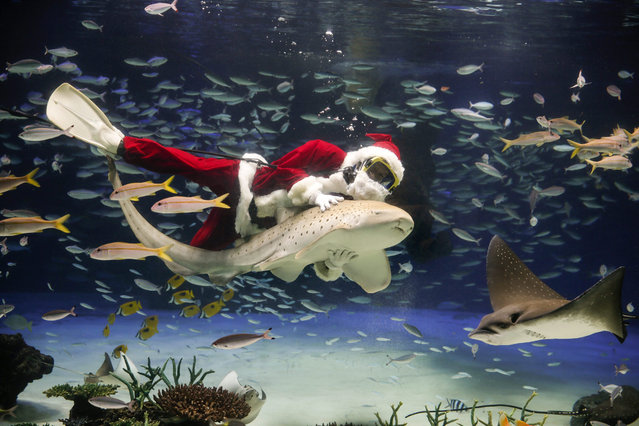 A diver wearing a Santa Claus costume rides on a shark during an underwater feeding performance commemorating Christmas at Sunshine Aquarium in Tokyo, Japan, 12 November 2015. The show is held twice a day through 25 December. (Photo by Kimimasa Mayama/EPA)