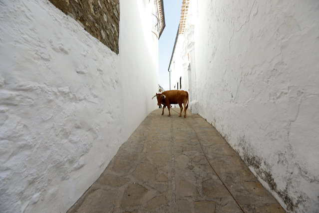"""A heifer, tied with a rope, turns during """"Toro de Cuerda"""" in the white village of Villaluenga del Rosario, southern Spain September 3, 2016. Dazzling clusters of cube-shaped houses perched on top of Andalusia's olive tree-studded mountains, the """"Pueblos Blancos"""", or white villages, of southern Spain are named for the lime wash the buildings are painted with to keep the interiors cool. The labyrinths of narrow alleyways are a throwback to when this region was known as Al-Andalus and was part of a medieval Muslim territory. While this region is stunningly beautiful and a big draw to tourists visiting the south of Spain, it is also one of the poorest areas in the country and has one of the highest unemployment rates in the European Union. (Photo by Marcelo del Pozo/Reuters)"""
