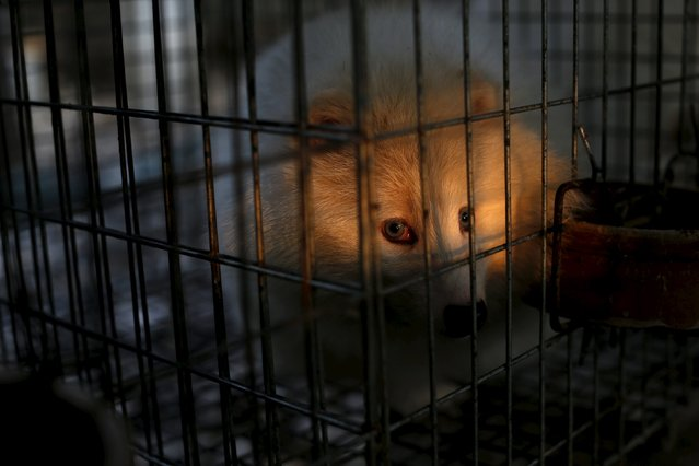 A polar fox is seen in its cage at a fox farm in Nanzhuang village, Shandong province, China, December 12, 2015. (Photo by William Hong/Reuters)