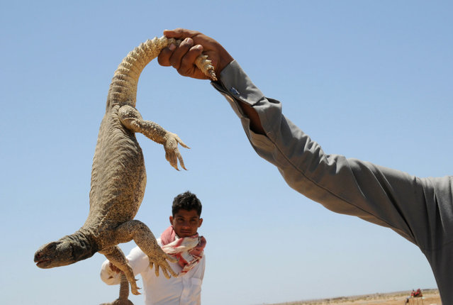 A man holds an Uromastyx lizard, also known as a dabb lizard, in a desert near Tabuk April 19, 2013. The lizards, which are considered a delicacy in some parts of the Middle East, are caught in the spring season using hooks and sniffer dogs as well as bare hands. The lizards can be grilled or eaten raw, and according to popular belief, their blood is used to strengthen the body and treat diseases. (Photo by Mohamed Al Hwaity/Reuters)
