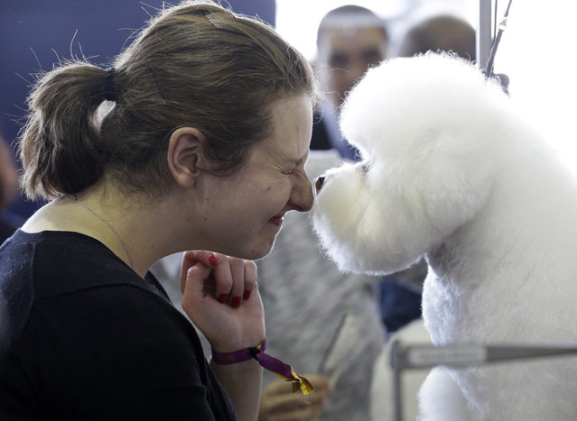 A Bichons Frise named Nurple gives Laura Warman a kiss at the Westminster Kennel Club show in New York, Monday, February 16, 2015. (Photo by Seth Wenig/AP Photo)