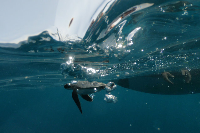 An endangered sea turtle swims as it is lowered off a boat into the Mediterranean after Israel Nature and Parks Authority rangers rescued the turtles, which survived an oil spill that required they undergo weeks of cleaning, off the shore of Michmoret, Israel on April 7, 2021. (Photo by Ilan Rosenberg/Reuters)