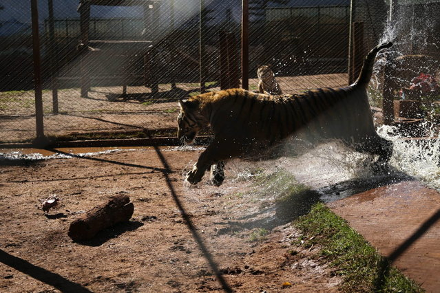 A tiger leaps out of a pool inside a cage in the backyard of its caretaker Ary Borges in Maringa, Brazil, Thursday, September 26, 2013. Ibama, Brazil's environmental protection agency that also oversees wildlife, is working through courts to force Borges to have the male tigers undergo vasectomies so they cannot reproduce, confiscate his caretaker license and obtain the cats. Borges appealed and the matter is pending before a federal court. (Photo by Renata Brito/AP Photo)