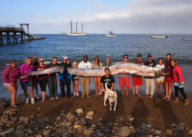 This photo released courtesy of the Catalina Island Marine Institute taken on Sunday October 13, 2013 shows the crew of sailing school vessel Tole Mour and Catalina Island Marine Institute instructors holding an 18-foot-long oarfish that was found in the waters of Toyon Bay on Santa Catalina Island, Calif. A marine science instructor snorkeling off the Southern California coast spotted the silvery carcass of the 18-foot-long, serpent-like oarfish. (Photo by AP Photo/Catalina Island Marine Institute)