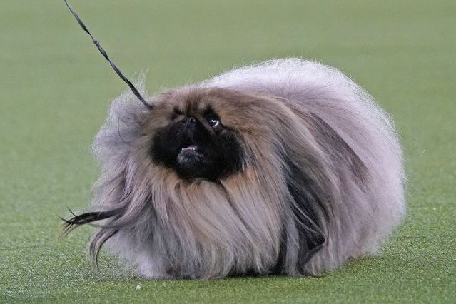 A Pekingese walks with its handler in the Best in Show at the Westminster Kennel Club dog show, Sunday, June 13, 2021, in Tarrytown, N.Y. The dog won the blue ribbon in Best in Show. (Photo by Kathy Willens/AP Photo)