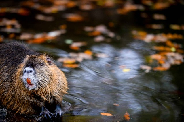 A coypu cools off in the water at the zoo in Hof, Germany, on November 5, 2013. (Photo by David Ebener/AFP Photo/DPA)