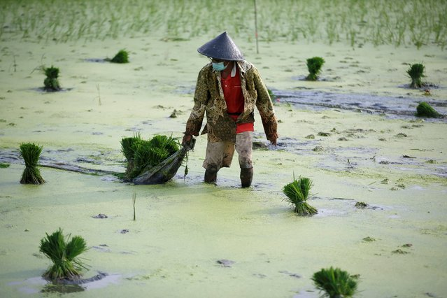 A farmer wearing a protective mask to curb the spread of coronavirus disease (COVID-19) works at a paddy field in Jakarta, Indonesia, June 28, 2021. (Photo by Willy Kurniawan/Reuters)