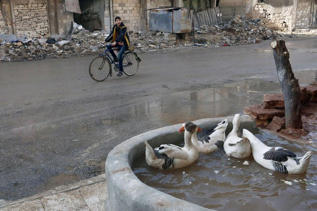 A boy rides a bicycle beside geese in Aleppo January 1, 2015. (Photo by Hamid Khatib/Reuters)
