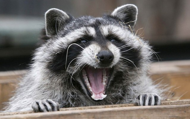Masha, a female raccoon, yawns in her wooden refuge inside an open-air cage where she hibernates at the Royev Ruchey zoo in Krasnoyarsk, November 20, 2013. Many animals in the zoo are having difficulties hibernating due to unusually warm temperatures, employees of the zoo said. (Photo by Ilya Naymushin/Reuters)