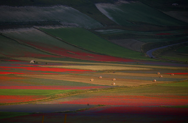 Fields of flowers during the annual blossom in Castelluccio di Norcia near Perugia, Italy, July 12, 2018. (Photo by Alessandro Bianchi/Reuters)
