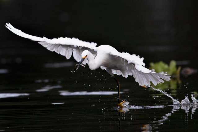 An egret catches a fish in the canals of Xochimilco, Mexico City, Thursday, August 12, 2021, as Mexico City prepares for the 500th anniversary of the fall of the Aztec capital of Tenochtitlan. The canals and floating gardens of Xochimilco are the last remnants of a vast water transport system built by the Aztecs to serve their capital of Tenochtitlán. (Photo by Marco Ugarte/AP Photo)