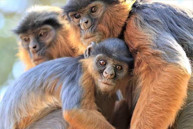 Elsewhere in Africa, an estimated 53% of primate species are under threat of extinction. This includes the Temminck's red colobus species seen here. (Photo by Mic Mayhew/IUCN/PA Wire Press Association)