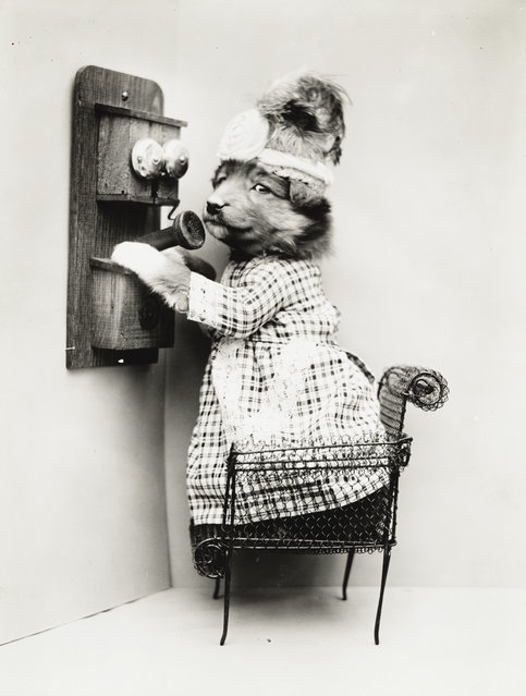 Photograph shows a puppy wearing a dress placed upon a miniature chair with a telephone, 1914. (Photo by Harry Whittier Frees/Library of Congress)