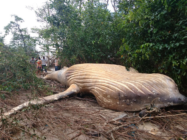 Biologists from the NGO Bicho D'agua check a humpback whale, that according to them was found dead inside a mangrove in Ilha do Marajo, Para state, Brazil February 23, 2019. A humpback whale was found dead in a mangrove swamp in the Brazilian island of Marajo, located in the Amazonian state of Para (north), after allegedly being dragged by the strong tide that hit the region, confirmed the NGO Instituto Bicho D'Agua on Tuesday. The cetacean, eight meters long, ran aground last week in the middle of a mangrove surrounded by trees up to 30 and 40 meters high, explained Renata Emin, president of the Institute dedicated to marine conservation. (Photo by NGO Bicho D'agua/Handout via Reuters)