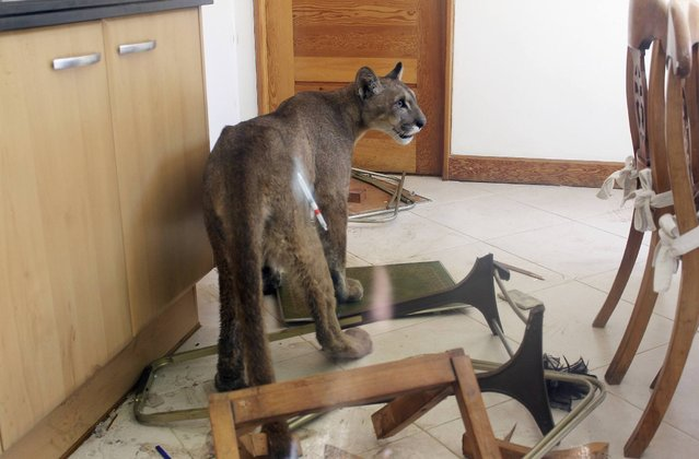 A puma is seen inside the kitchen of a residential home in this handout picture provided by the Agricultural and Livestock Service of Chile (SAG), in Santiago January 29, 2014. The animal was discovered by the homeowner and was taken to a local zoo after being sedated by authorities. Authorities are investigating how the puma appeared at the home. No one was injured, according to local media. (Photo by Reuters/Agricultural and Livestock Service of Chile (SAG))