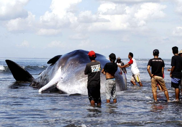 Indonesians gather around a dead sperm whale in Bali, Indonesia Monday, March 14, 2016. The whale was found dead early Monday on a beach after being washed ashore. (Photo by Firdia Lisnawati/AP Photo)