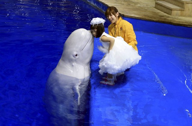 A trained beluga whale kisses a girl on the cheek during a performance at the Beijing Aquarium in Beijing, April 23, 2015. (Photo by Reuters/Stringer)