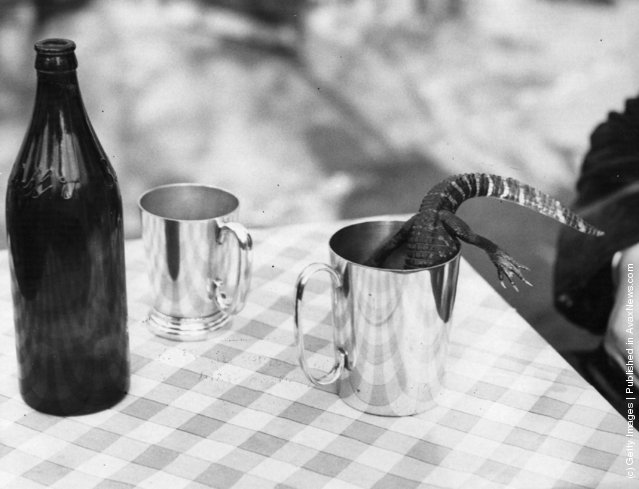 Flash the baby alligator plunges into a tankard of beer, 1939