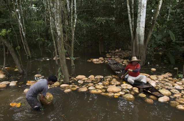 Brazilian farmer Jander Santos de Souza (R) paddles his canoe amid pumpkins in his plantation which is inundated with floodwaters from the Solimoes River, in the rural municipality of Manacapuru, Amazonas state May 5, 2015. (Photo by Bruno Kelly/Reuters)
