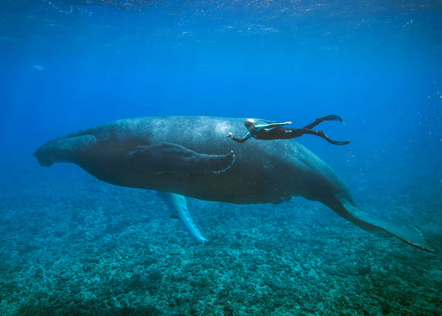Ocean Ramsey freediving with a Whale. (Photo by Juan Oliphant/Caters News)