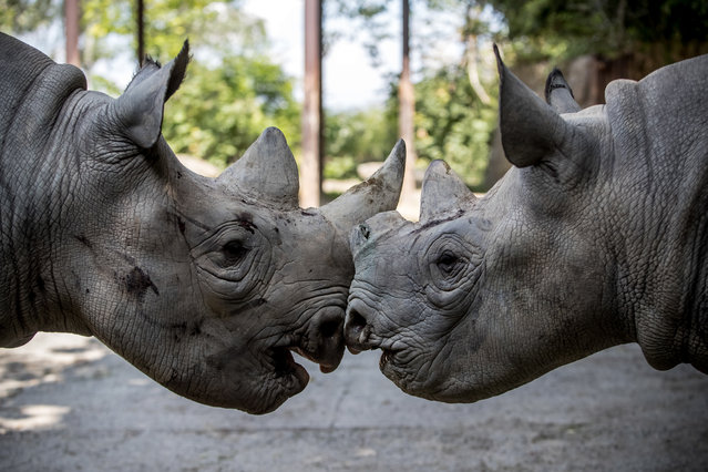 Olmoti (L) and Jasiri (R), black rhinos, play in enclosure at Safari Park in Dvur Kralove nad Labem, Czech Republic, 19 June 2019 (issued 20 June 2019). Three black rhinos (Diceros bicornis michaeli) from Safari Park Dvur Kralove and two black rhinos from other European gardens will set out for Akagera National Park in Rwanda on 23 June. This is the largest rhino transport ever from Europe to Africa, where they should start a new population. All animals are prepared for the trip in Dvur Kralove. The trip will include three rhinos from Dvur, Jasiri, Jasmina and Manny, female Olmoti from the English zoo Flamingo Land and male Mandela from Denmark. These five will find a new home in Akagera National Park, Rwanda, where the last rhinos were seen in 2007. According to Safari Park, only about 700 black rhinos live in the wild. (Photo by Martin Divíšek/EPA/EFE)
