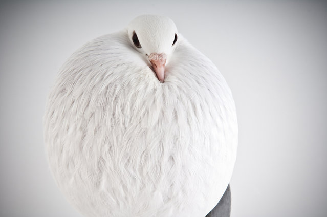 Voorburg Cropper. Darwin's Pigeons series. (Photo by Photo by Richard Bailey/Caters News)