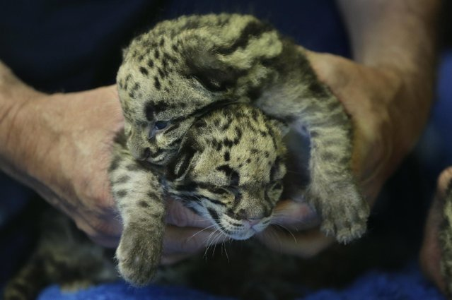 Two of the four clouded leopard cubs currently at the Point Defiance Zoo & Aquarium, are held by a staff biologist Friday, June 5, 2015 in Tacoma, Wash. The quadruplets were born on May 12, 2015 and now weigh about 1.7 lbs. each. Friday was their first official day on display for public viewing, usually during their every-four-hours bottle-feeding sessions, which were started after the cubs' mother did not show enough interest in continuing to nurse them. (AP Photo/Ted S. Warren)