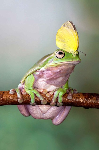Funny encounter between the frog and butterfly. (Photo by Lessy Sebastian/Solent News/SIPA Press)