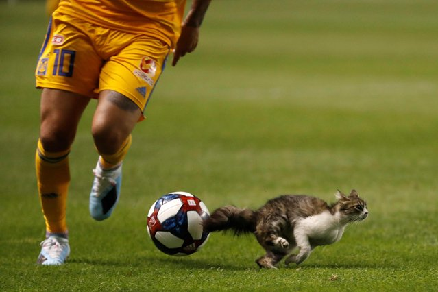 A cat disrupts between Mexico's Tigres UANL and Real Salt Lake during a quarterfinals match as part of the Leagues Cup 2019 at Rio Tinto Stadium on July 24, 2019 in Sandy, Utah. (Photo by Jeff Swinger/USA TODAY Sports)