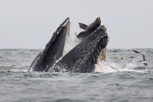 """This handout picture released on July 30, 2019, shows a sea lion accidentally caught in the mouth of a humpback whale in Monterey Bay, California. In a stunning photo, a wildlife photographer has captured a sea lion falling into the mouth of a humpback whale in what he calls a """"once-in-a-lifetime"""" moment. (Photo by Chase Dekker/AFP Photo)"""