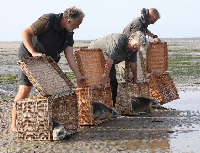 Helpers release four young seal pups into the North Sea on the beach of Juist island, northern Germany, 06 August 2019. Four young seals – Freya, Lotte, Mucki and Finchen – were brought back into the wilderness from the seal nursery of Norddeich where they were raised after being found motherless on beaches along the North Sea shore. (Photo by Focke Strangmann/EPA/EFE)