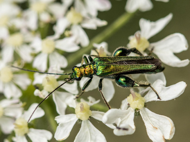 A swollen-thighed beetle – Oedemera nobilis – at a riverbank in British woodland. (Photo by Coffeyshots/Alamy Stock Photo)