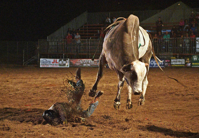 A rider falls during a rodeo event in Monte Negro, south of the Amazon basin, Rondonia state, Brazil on August 30, 2019. (Photo by Carl De Souza/AFP Photo)