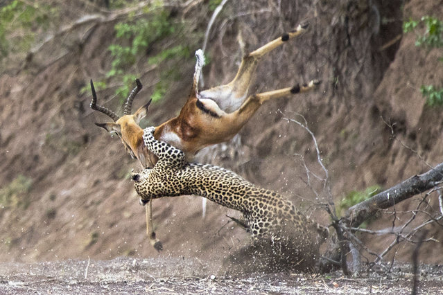 Dramatic image show the moment a leopard hunts down an impala in the Mashatu game reserve in the Tuli region of Botswana. (Photo by Kevin Dooley/Caters News Agency)