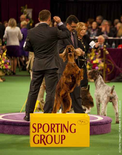 Irish Setter Grand Champion Shadagee Caught Red Handed stands with his handler Adam Bernardin, after winner of the Sporting Group at the Westminster Kennel Club Dog Show